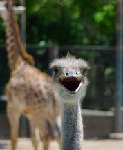 Photo Bomber No'8 THE OSTRICH and GIRAFFES